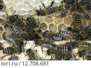 Купить «Honigbienen, Biene; Apis; mellifera», фото № 12708681, снято 17 июля 2019 г. (c) PantherMedia / Фотобанк Лори