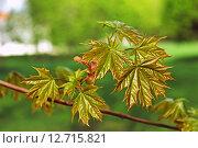 Купить «Молодые кленовые листья на ветке», фото № 12715821, снято 8 мая 2011 г. (c) Galina Barbieri / Фотобанк Лори