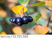 Купить «Веточка черноплодки», фото № 12721593, снято 20 сентября 2015 г. (c) Mike The / Фотобанк Лори