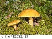 Моховики (лат. Xerocomus) в лесу. Стоковое фото, фотограф Елена Коромыслова / Фотобанк Лори