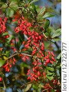 Купить «Барбарис обыкновенный (лат. Berberis vulgaris L.)», эксклюзивное фото № 12722777, снято 18 сентября 2015 г. (c) lana1501 / Фотобанк Лори