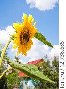 Купить «Подсолнух (Helianthus annuus) и шмель», эксклюзивное фото № 12736685, снято 17 августа 2012 г. (c) Алёшина Оксана / Фотобанк Лори