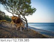 Бык прогуливается вдоль Черного моря (2015 год). Редакционное фото, фотограф Наталья Гарнелис / Фотобанк Лори