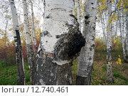 Лекарственный гриб чага на стволе березы. Стоковое фото, фотограф Алексей Маринченко / Фотобанк Лори