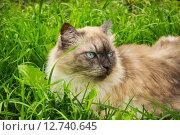 Купить «Кот с голубыми глазами в зеленой траве», фото № 12740645, снято 30 июня 2015 г. (c) Александр Романов / Фотобанк Лори