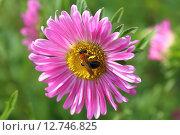Купить «Каллистефус китайский или Астра однолетняя (Callistephus chinensis). Пчела на цветке крупным планом», фото № 12746825, снято 25 июля 2015 г. (c) Григорий Писоцкий / Фотобанк Лори