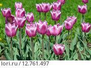 Купить «Розово-белые тюльпаны», эксклюзивное фото № 12761497, снято 20 мая 2015 г. (c) Елена Коромыслова / Фотобанк Лори
