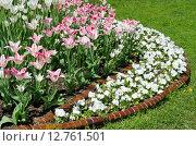 Купить «Весенняя клумба с тюльпанами и белыми фиалками», эксклюзивное фото № 12761501, снято 20 мая 2015 г. (c) Елена Коромыслова / Фотобанк Лори