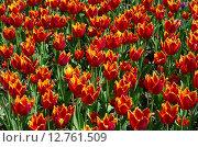 Купить «Красно-желтые махровые сортовые тюльпаны, фон», эксклюзивное фото № 12761509, снято 20 мая 2015 г. (c) Елена Коромыслова / Фотобанк Лори