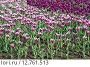 Купить «Розовые и фиолетовые сортовые тюльпаны, фон», эксклюзивное фото № 12761513, снято 20 мая 2015 г. (c) Елена Коромыслова / Фотобанк Лори