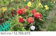 Купить «Красивые георгины на грядке на даче», видеоролик № 12765673, снято 11 сентября 2015 г. (c) Кекяляйнен Андрей / Фотобанк Лори