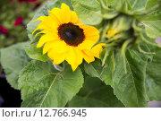 Купить «close up of blooming sunflower in garden», фото № 12766945, снято 27 июля 2015 г. (c) Syda Productions / Фотобанк Лори