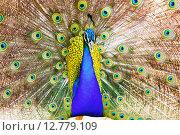 Peafowl with beautiful feather. Стоковое фото, фотограф Яков Филимонов / Фотобанк Лори