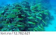 Купить «Стая Барабуль плавает рядом с коралловым рифом, Красное море, Марса-эль-Алам, бухта Абу-Дабаб, Египет», видеоролик № 12782621, снято 2 июня 2015 г. (c) Некрасов Андрей / Фотобанк Лори