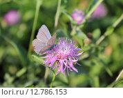 Бабочка голубянка аманда (Polyommatus amandus) или голубянка быстрая на цветке василька лугового. Стоковое фото, фотограф Ирина Водяник / Фотобанк Лори
