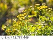 Купить «Цветы пижмы», фото № 12787449, снято 22 сентября 2007 г. (c) Максим Стриганов / Фотобанк Лори