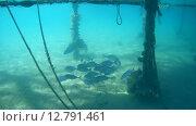 Купить «Стая каранксов (Carangoides fulvoguttatus) плывет под причалом, Красное море, Марса-эль-Алам, бухта Абу-Дабаб, Египет», видеоролик № 12791461, снято 1 июня 2015 г. (c) Некрасов Андрей / Фотобанк Лори