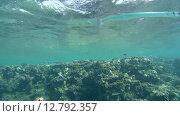 Купить «Рыбы чистильщики (Aspidontus taeniat) чистят морскую щуку Саргана (Belone belone) на коралловом рифе, Красное море, Марса-эль-Алам, бухта Абу-Дабаб, Египет», видеоролик № 12792357, снято 1 июня 2015 г. (c) Некрасов Андрей / Фотобанк Лори
