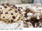 Купить «Shiitake and southern poplar mushroom on a mushroom substrate», фото № 12797181, снято 20 июля 2019 г. (c) PantherMedia / Фотобанк Лори
