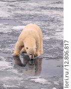 Купить «Полярный медведь», фото № 12806817, снято 14 июля 2012 г. (c) Vladimir / Фотобанк Лори