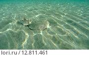 Купить «Электрический скат (Torpedo panthera) плывет над песчаным дном и за тем зарывается в песок, Красное море, Марса-эль-Алам, бухта Абу-Дабаб, Египет», видеоролик № 12811461, снято 2 июня 2015 г. (c) Некрасов Андрей / Фотобанк Лори