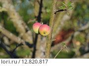 Два яблока. Стоковое фото, фотограф Сергей Макаров / Фотобанк Лори