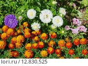 Купить «Клумба из однолетников», эксклюзивное фото № 12830525, снято 15 августа 2015 г. (c) Елена Коромыслова / Фотобанк Лори