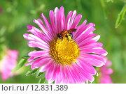 Купить «Каллистефус китайский (Астра однолетняя). Пчела на цветке крупным планом», фото № 12831389, снято 25 июля 2015 г. (c) Григорий Писоцкий / Фотобанк Лори