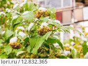 Купить «Снег на плодах Пузыреплодника калинолистного (Physocarpus opulifolius)», фото № 12832365, снято 9 октября 2015 г. (c) Алёшина Оксана / Фотобанк Лори
