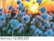 Купить «Цветущая пушица на закате солнца», фото № 12850237, снято 7 июня 2015 г. (c) Икан Леонид / Фотобанк Лори