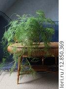 Аспарагус перистый в цветочном горшке в интерьере. Стоковое фото, фотограф Клыкова Инна / Фотобанк Лори