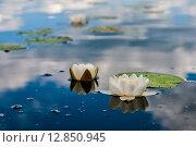 Купить «Кувшинки на озере Селигер», эксклюзивное фото № 12850945, снято 29 июня 2015 г. (c) Игорь Низов / Фотобанк Лори