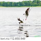 Купить «Чайки ловят рыбу в воде», эксклюзивное фото № 12850949, снято 2 июля 2015 г. (c) Игорь Низов / Фотобанк Лори