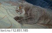 Купить «Шотландская вислоухая кошка», видеоролик № 12851185, снято 9 октября 2015 г. (c) Александр Багно / Фотобанк Лори