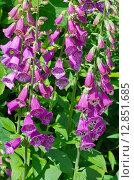 Купить «Наперстянка пурпурная (лат. Digitalis purpurea) в саду», эксклюзивное фото № 12851685, снято 29 июня 2015 г. (c) Елена Коромыслова / Фотобанк Лори