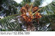 Купить «Спелый кокос падает с пальмы качающейся на ветру, Мальдивские острова», видеоролик № 12856189, снято 11 октября 2015 г. (c) KEN VOSAR / Фотобанк Лори