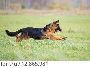 Купить «Длинношерстная немецкая овчарка играет на лужайке», фото № 12865981, снято 1 октября 2015 г. (c) Андрей Кузьмин / Фотобанк Лори