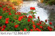 Купить «Цветущие кусты лантаны сводчатой на берегу ручья в парке (лат. Lantana camara L.)», видеоролик № 12866677, снято 9 октября 2015 г. (c) Виктория Катьянова / Фотобанк Лори