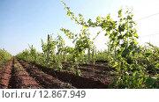 Купить «Ряды виноградников», видеоролик № 12867949, снято 22 июля 2015 г. (c) Александр Устич / Фотобанк Лори