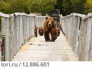 Медведи на Камчатке. Озеро Курильское (2015 год). Редакционное фото, фотограф Свистунов Павел / Фотобанк Лори