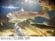 Купить «Salmon swimming», фото № 12888189, снято 12 декабря 2018 г. (c) PantherMedia / Фотобанк Лори