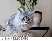 Купить «Серая пушистая кошка в домашней обстановке», фото № 12908093, снято 6 июля 2015 г. (c) Илюхина Наталья / Фотобанк Лори