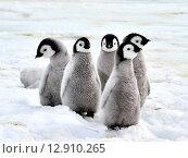Купить «Детеныши императорского пингвина на льду», фото № 12910265, снято 21 марта 2019 г. (c) Vladimir / Фотобанк Лори