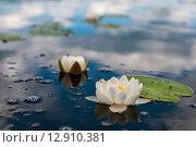 Купить «Кувшинки растущие на озере Селигер», эксклюзивное фото № 12910381, снято 29 июня 2015 г. (c) Игорь Низов / Фотобанк Лори