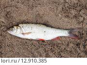 Купить «Рыба краснопёрка лежит на песке», эксклюзивное фото № 12910385, снято 2 июля 2015 г. (c) Игорь Низов / Фотобанк Лори