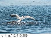 Купить «Чайка взлетает с воды», эксклюзивное фото № 12910389, снято 4 июля 2015 г. (c) Игорь Низов / Фотобанк Лори