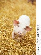 Купить «Young piglet on hay and straw at pig breeding farm», фото № 12914333, снято 23 августа 2012 г. (c) Дмитрий Калиновский / Фотобанк Лори