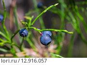 Купить «Спелая черника», фото № 12916057, снято 3 октября 2015 г. (c) Andrei Nekrassov / Фотобанк Лори