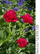 Купить «Малиновые узколистные пионы (лат. Paeonia) в саду», эксклюзивное фото № 12919129, снято 13 июня 2015 г. (c) Елена Коромыслова / Фотобанк Лори