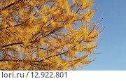 Купить «Осенняя лиственница колышется на ветку», видеоролик № 12922801, снято 22 октября 2015 г. (c) Наталья Волкова / Фотобанк Лори